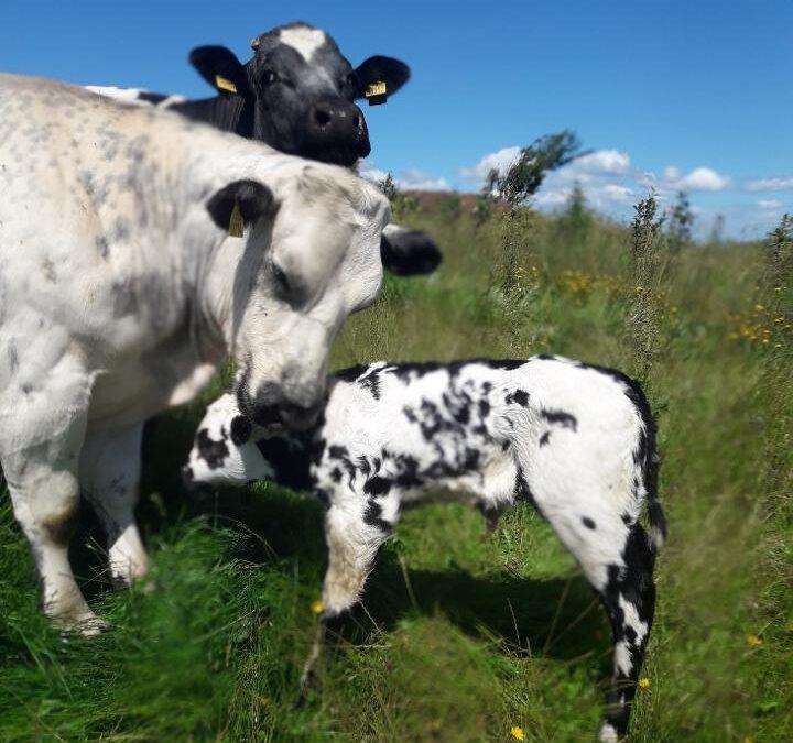 Tilskud til levende fødte kalve og skylleprogram